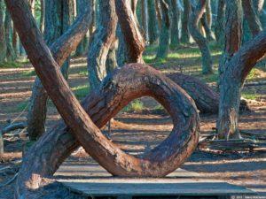 Танцующий лес Куршская коса